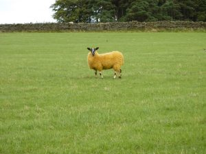 single northumbrian sheep small